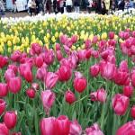 Тюльпаны многолетники