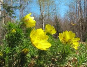 Адонис весенний
