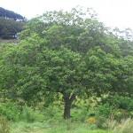 Грецкий орех - дерево