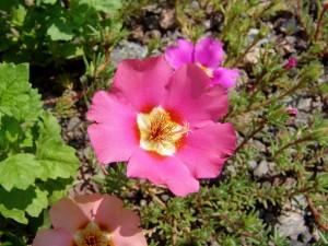 розовый цветок камнеломки_макро