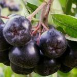 Арония черноплодная (черноплодная рябина)