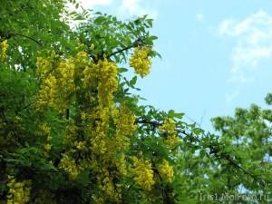 лето и желтая акация