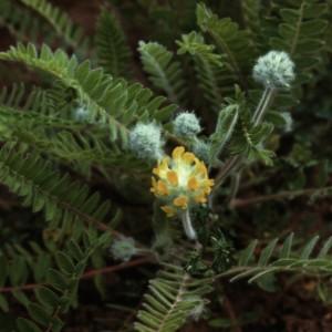 макро цветок астрагала