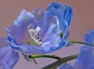 цветок дельфиниума макро