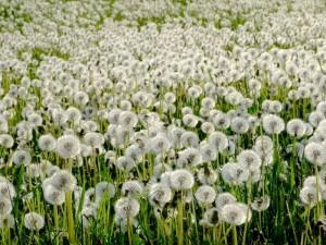 поле одуванчиков белых