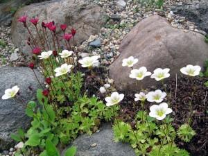 белые цветы камнеломки