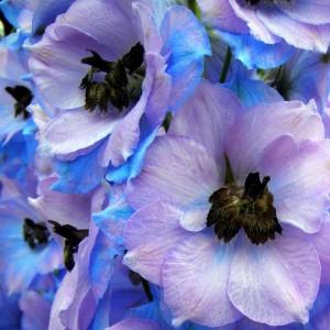 сине-фиолетовые цветки дельфиниума