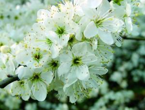 цветы терновника