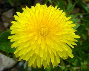 крупный цветок одуванчика