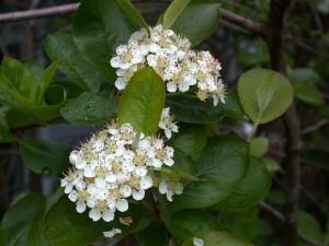 цветки аронии