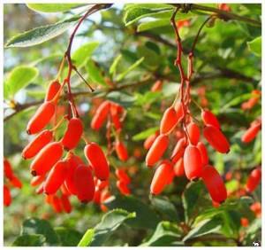 ягоды спелого барбариса