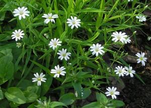 много цветов _мокрица