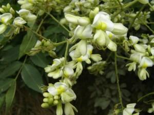 гроздь белых цветов софоры