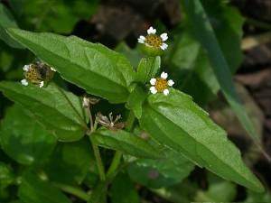 два цветка американки