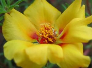 желтый цветок портулака