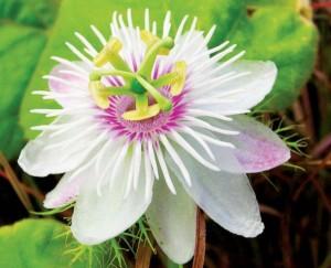белый цветок страстоцвета