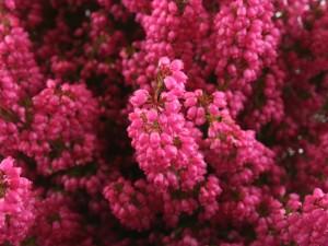 крупное соцветие бардового вереска