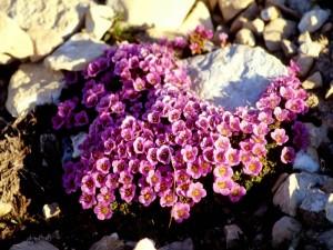 сиреневые цветы камнеломки