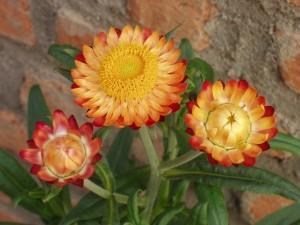 макро цветки бессмертника