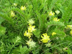 цветки астрагала