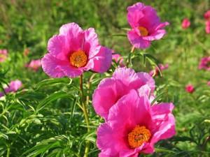 ярко-розовый пион