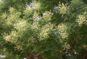 цветущее дерево софоры японской