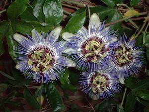 три сиреневых цветка пассифлоры