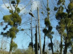 омела на деревьях-520x390
