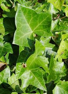 крупный лист плюща