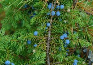 синие ягоды можжевельника на ветке
