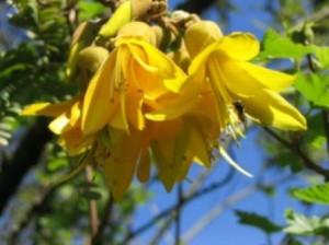 желтые цветы софоры