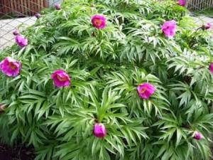 мелкие цветы фиолетового пиона