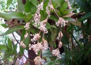 цветки золотого уса