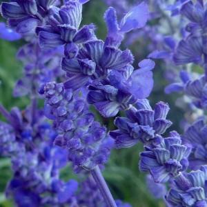 синие цветы шалфея