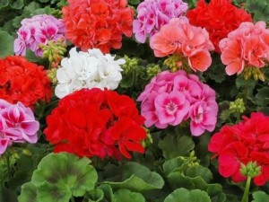 разноцветные соцветия герани