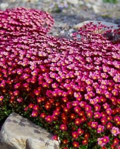 красные цветы камнеломки