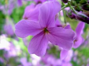 ночная фиалка цветок_макро