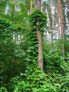 хмель на дереве