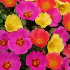разноцветные цветы портулака