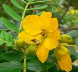 цветок александрийского листа_макро