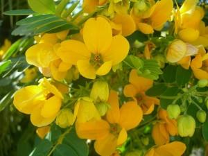 желтые цветы кассии