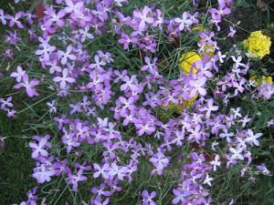 сиреневые цветы фиалки