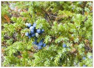 несколько ягод можжевельника