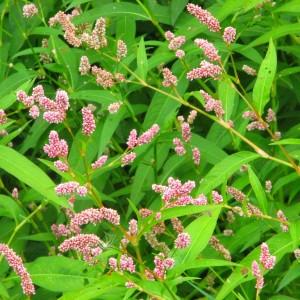 горец почечуйный - мелкие цветы