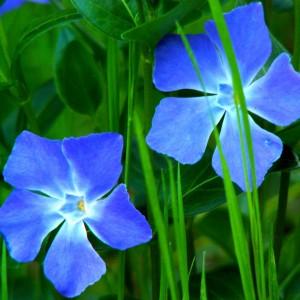 барвинок синий