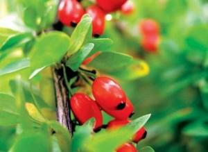 ягоды барбариса_макро
