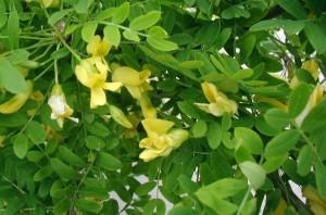 цветки акации желтой