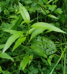 водяной перец листья