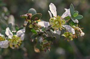 цветы жожоба