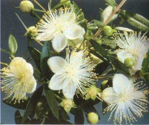 белые цветы мирта